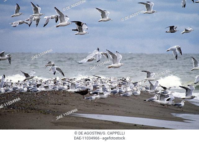 European Herring Gull (Larus argentatus) and ring-billed gull (Larus delawarensis) flying over Lake Erie, Point Pelee National Park, Ontario, Canada