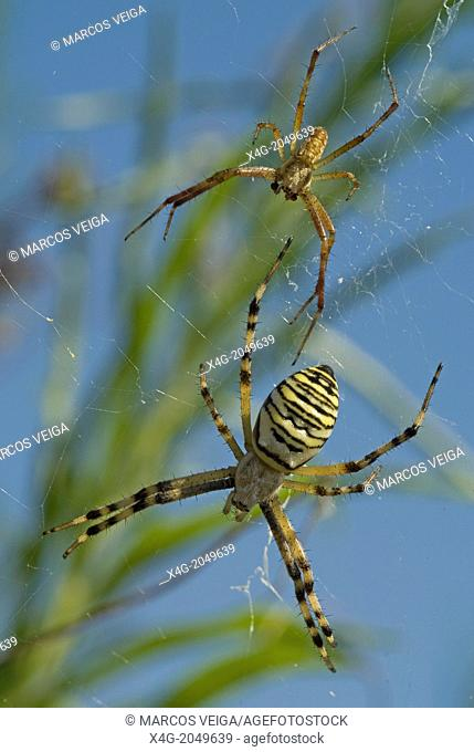 Wasp Spider pair Argiope bruennichi with the female bottom much larger than the male. Spain