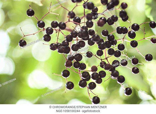 european black elder berries