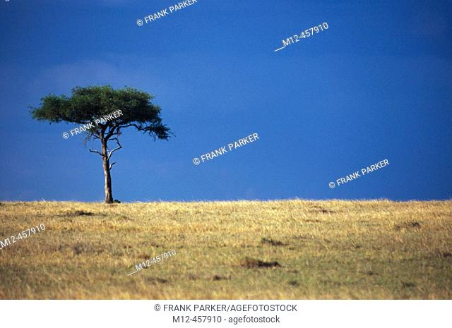 Lone Acacia stands on the Masai horizon, Masai Mara, Kenya