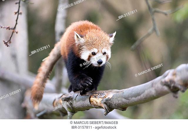 Red Panda (Ailurus fulgens) climbing on a branch, captive