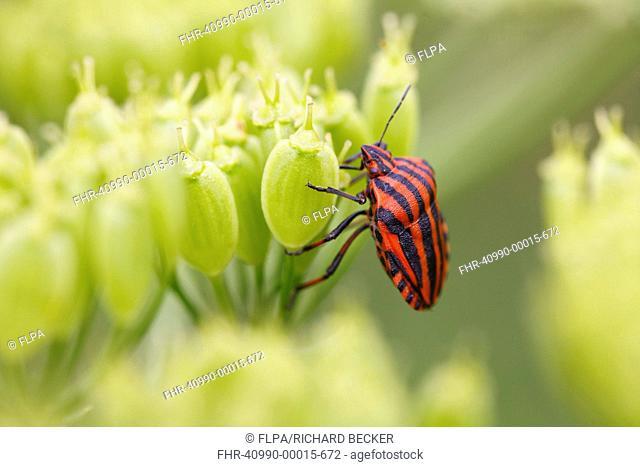 Red-and-black Striped Shieldbug Graphosoma italicum adult, on umbellifer seedhead, Causse de Gramat, Massif Central, Lot Region, France, June
