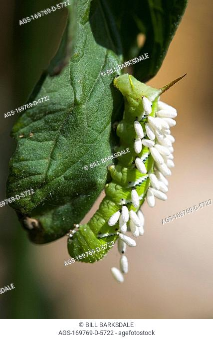 Agriculture - A Tomato hornworm Manduca quinquemaculata larva on a tomato plant has been parasitized by a braconid wasp Cotesia congregatus
