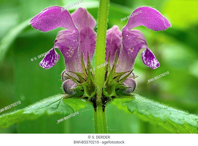 spotted dead-nettle, spotted deadnettle (Lamium maculatum), inflorescence, whorl of flowers, Germany, Bavaria, Oberbayern, Upper Bavaria