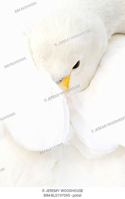 Whooper swan wrapped in wing