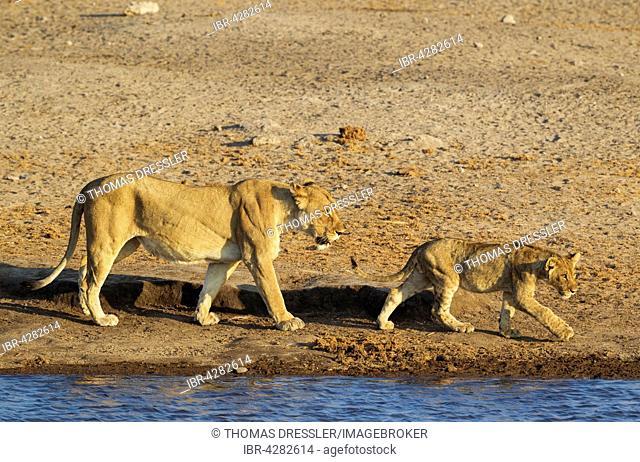 Lion (Panthera leo), female with cub walking at a waterhole, Etosha National Park, Namibia
