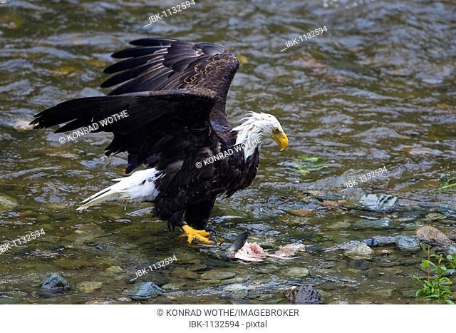 Bald Eagle with salmon (Haliaeetus leucocephalus) with salmon, Inside Passage, Alaska, USA, North America