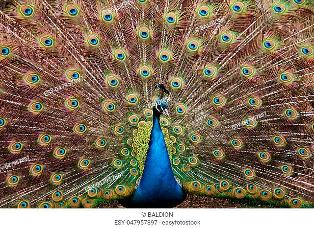 Colorful peacock with open tail on a sunny day