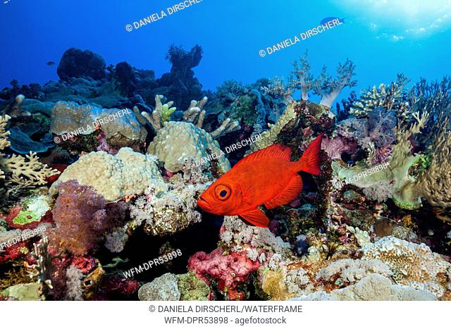 Crescent-tail Bigeye in Coral Reef, Priacanthus hamrur, Osprey Reef, Coral Sea, Australia