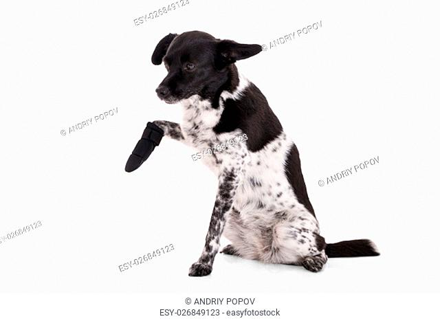 Portrait Of A Dog With Injured Paw On White Background