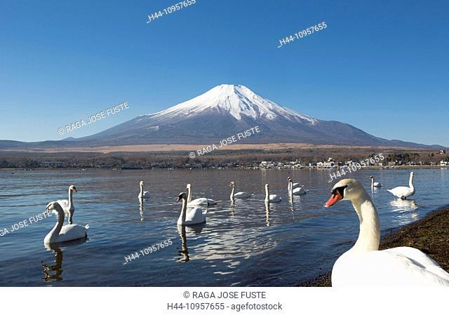 Japan, Asia, Lake Yamanaka, Swans, birds, Yamanaka, clear, Fuji, lake, mount, reflection, snow, touristic, travel