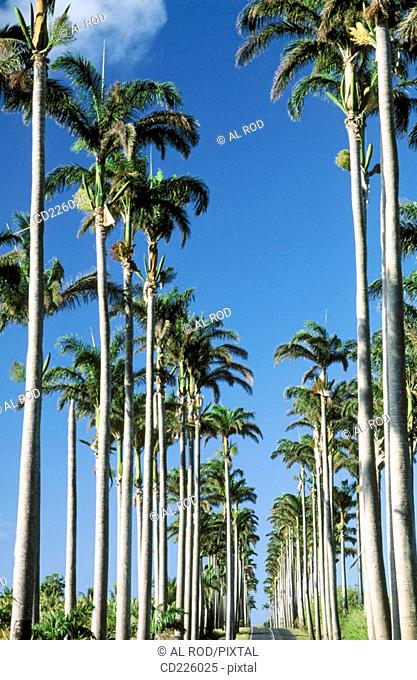 Royal palm trees. Capesterre-belle-eau. Basse Terre. Guadalupe. West Indies. Caribbean