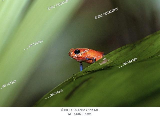 Strawberry Poison-dart Frog (Dendrobates pumilio) - La Laguna del Lagarto Lodge, Boca Tapada, Costa Rica
