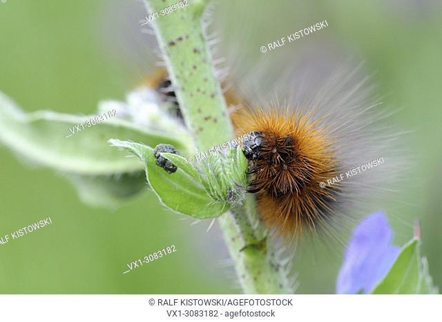 Woolly Bear ( Arctia caja ) caterpillar of the Garden Tiger Moth feeding on typical plant, Viper's bugloss ( Echium vulgare ), wildlife, Europe