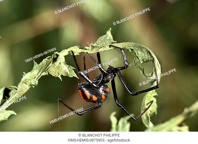 France, Core du Sud, Araneae, Theridiidae, Mediterranean black widow (Latrodectus tredecimguttatus)