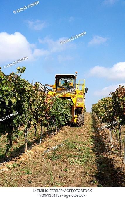 Combine-harvester collecting grape in Raimat  LLeida  Spain