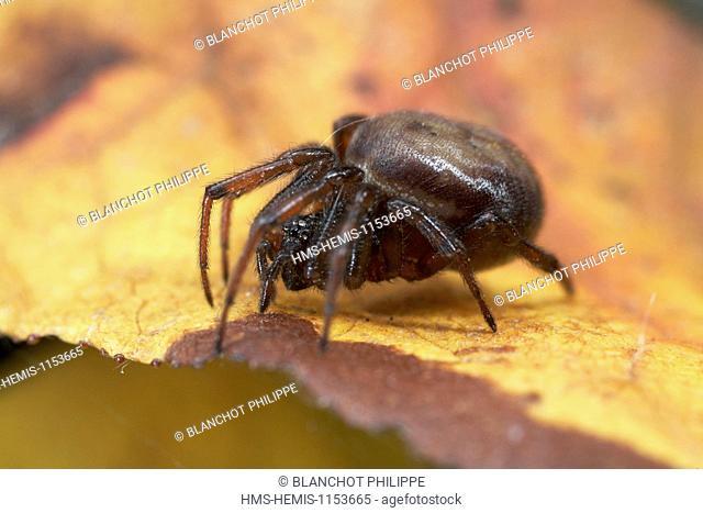 France, Araneae, Theridiidae, Common false-widow (Steatoda bipunctata)