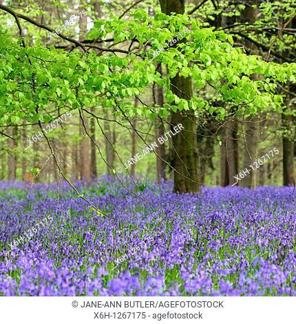 Harmonious Bluebell Wood