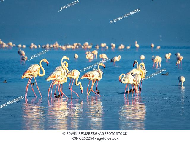Greater flamingo (Phoenicopterus roseus) Lake Nakuru, Kenya