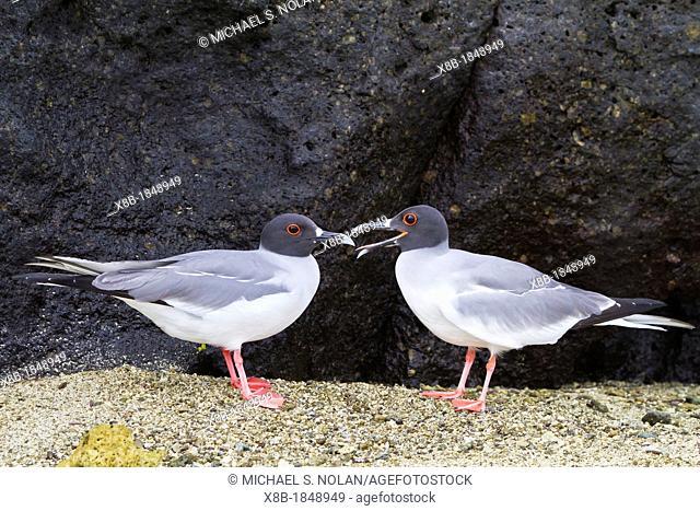 Adult Swallow-tailed gull Creagrus furcatus pair on Genovesa Island in the Galapagos Island Archipelago, Ecuador