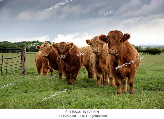 Domestic Cattle, Highland Cattle, beef herd, standing in pasture, Bradford, West Yorkshire, England, july