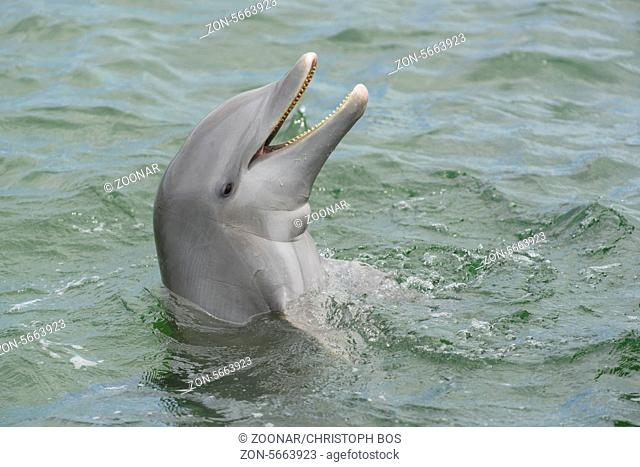 Delfin, Delphinus delphis, Dolphin