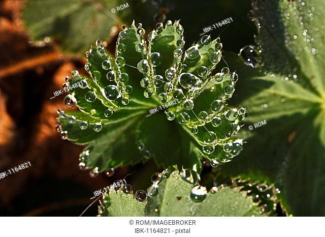 Lady's mantle (Alchemilla vulgaris), dew drop