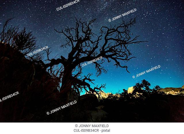 Silhouette of joshua tree and starry night sky, Joshua Tree national park, California, USA