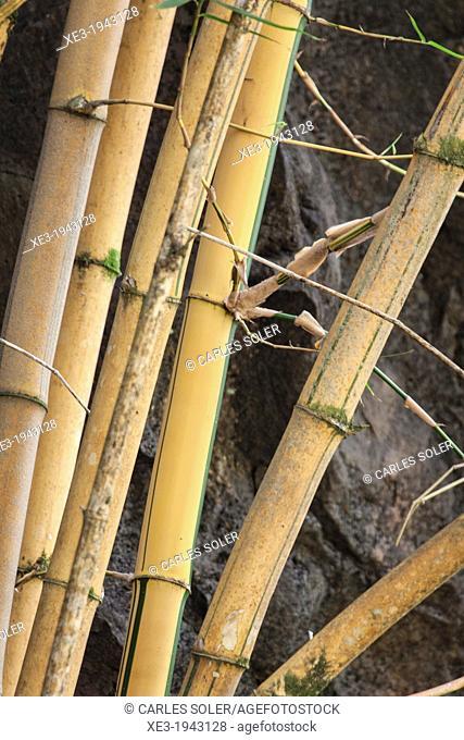 Bamboo canes, Oahu, Hawaii