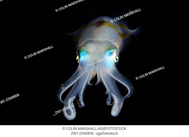 Bigfin Reef Squid (Sepioteuthis lessoniana), Night dive, Pantai Parigi dive site, Lembeh Straits, Sulawesi, Indonesia
