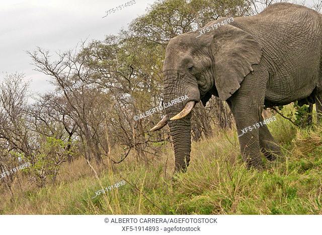 Elephant,Loxodonta africana, Kruger National Park, Mpumalanga, South Africa, Africa