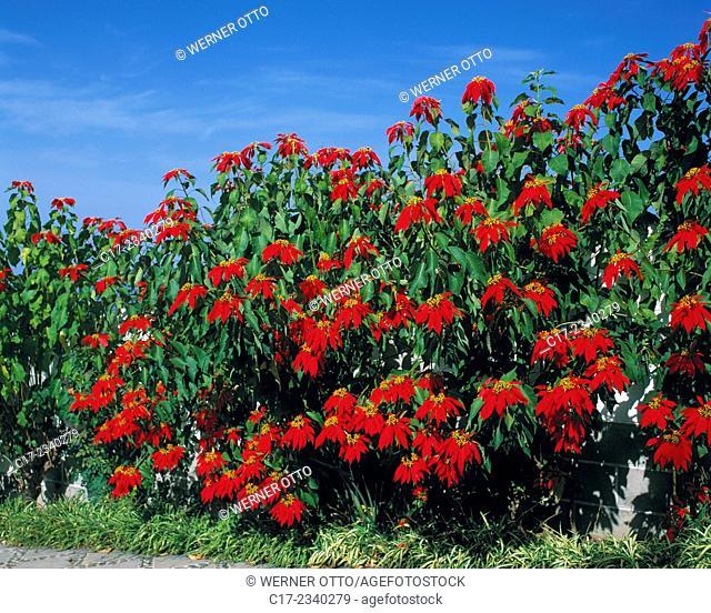 nature, plant life, plant, flower, blossom, bloom, Poinsettia, Euphorbia pulcherrima, Spain, Canary Islands, Tenerife