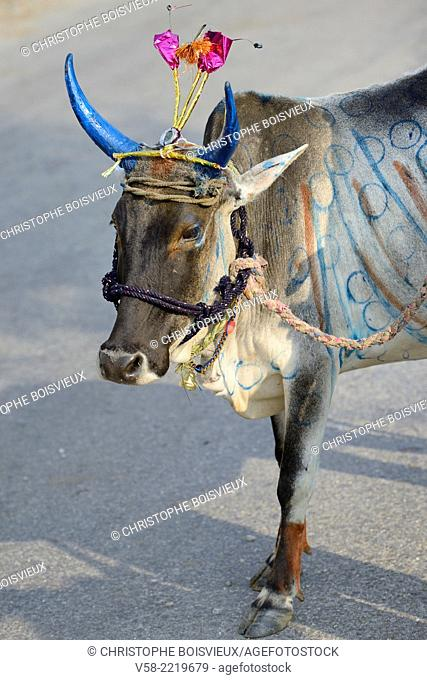 India, Rajasthan, Udaipur region, Diwali festival, Holy cow with freshly painted horns