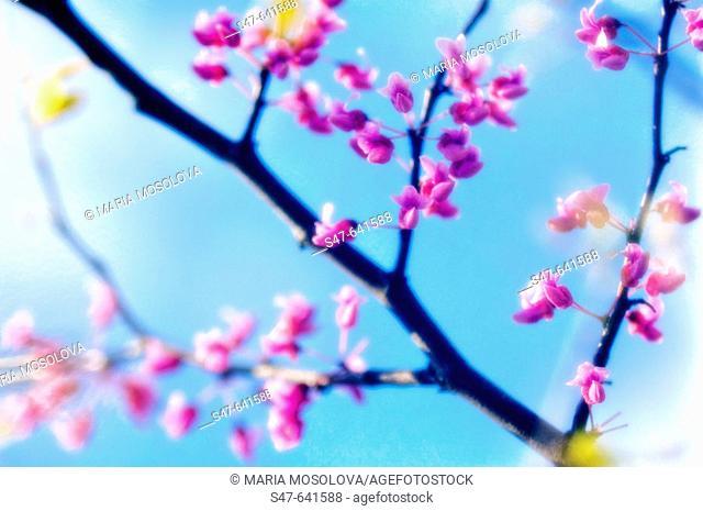 Redbud Blossom. Cercis canadensis. April 2007. Maryland, USA