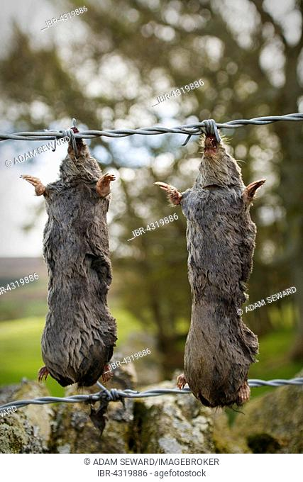Dead European Moles or Common Moles (Talpa europaea) hung up on barbed wire fence, known as a murder rail, by mole trapper, North Pennines, England