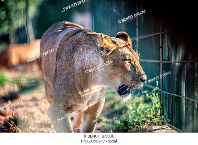 Portrait of a captive lioness