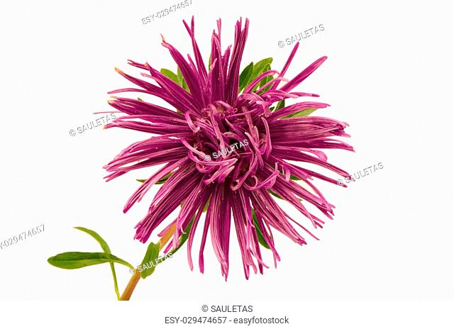 purple aster flower bloom with dew water drops closeup isolated on white background