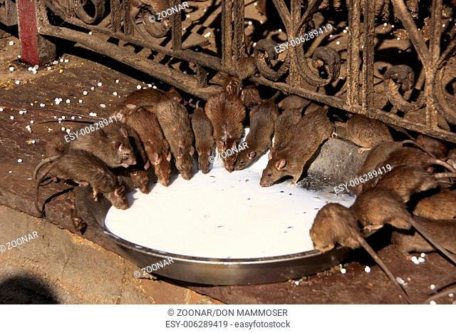Holy rats drinking milk from a bowl, Karni Mata Te