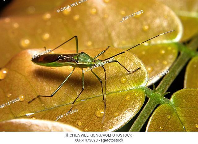Grass Bug, Stenodema laevigatum from Skudup, Kuchung, Sarawak, Malaysia