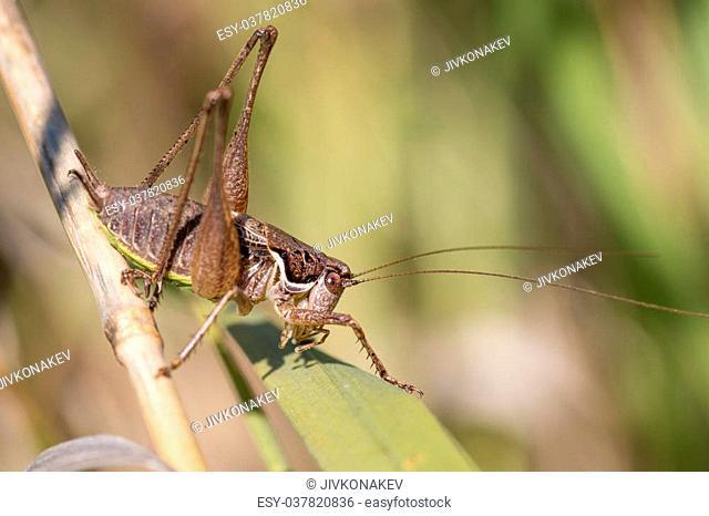 Bush cricket hiding in grass - Pholidoptera femorata male