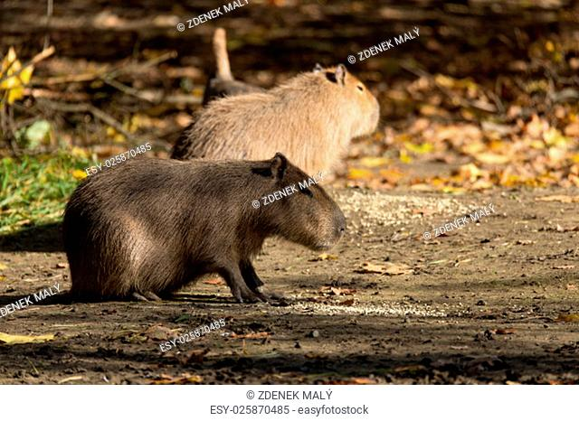 Close up photo of two Capybara, Hydrochoerus hydrochaeris, the largest rodent