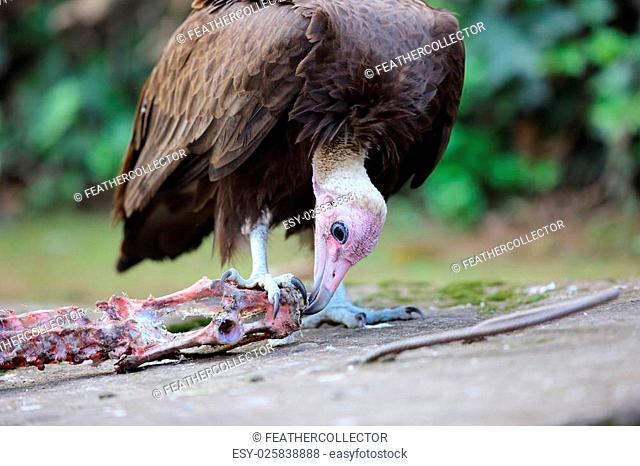 Hooded Vulture (Necrosyrtes monachus) in Rwanda