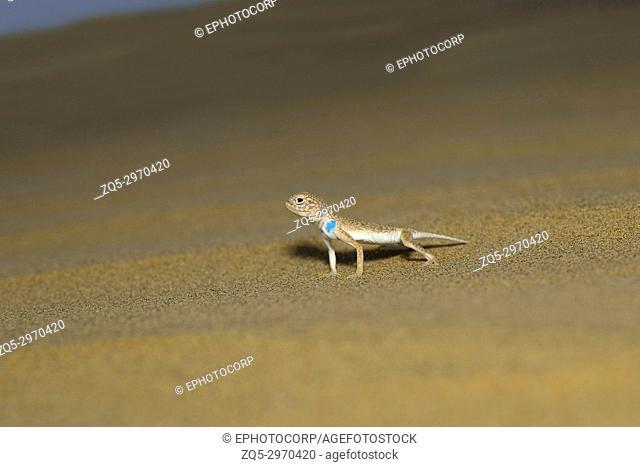Toad Headed Agama,genus Phrynocephalus Desert National Park, Rajasthan, India