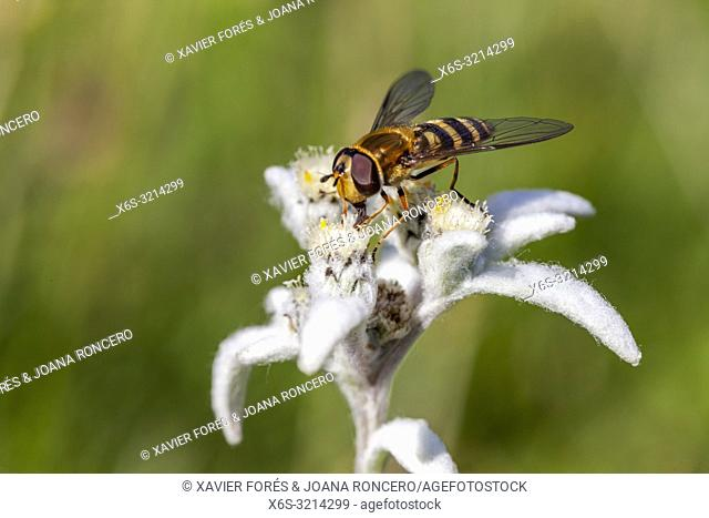 Hoverfly over an Edelweiss - Leontopodium alpinum -, Somport, Huesca, Spain