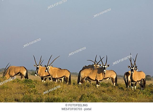 Africa, Botswana, Gemsbok herd Oryx gazella