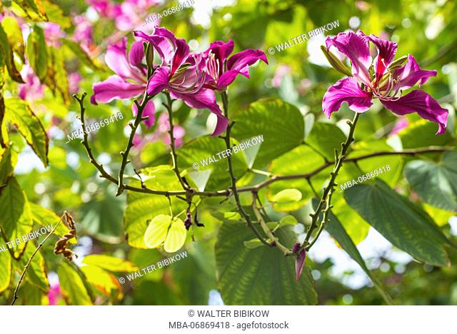 Netherlands, Sint Maarten, Simpson Bay, tropical flowers