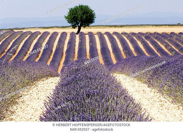 Blooming Lavender Field (Lavendula angustifolia)