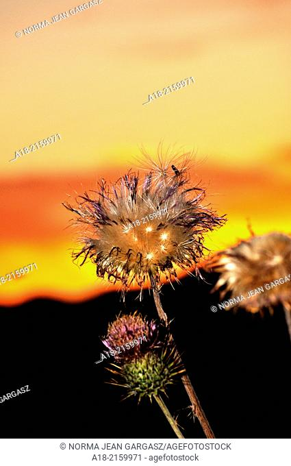Dry New Mexico Thistles, Cirsium neomexicanum, are highlighted by the sunset along Redington Road, Redington Pass, Santa Catalina Mountains, Sonoran Desert