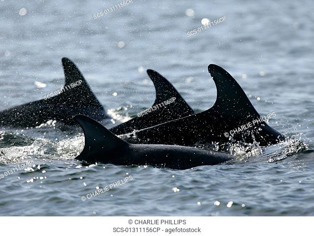 A group of resident bottlenose dolphins Tursiops truncatus travel through the Moray Firth, Scotland Natural nick marks can be seen on one dorsal fin
