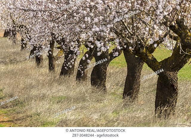 Trunks of almond trees in bloom. Corral Rubio. Albacete province. Spain
